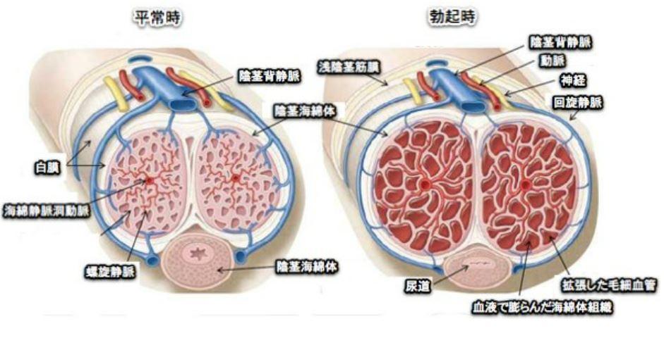 勃起の仕組み 陰茎海綿体の充血