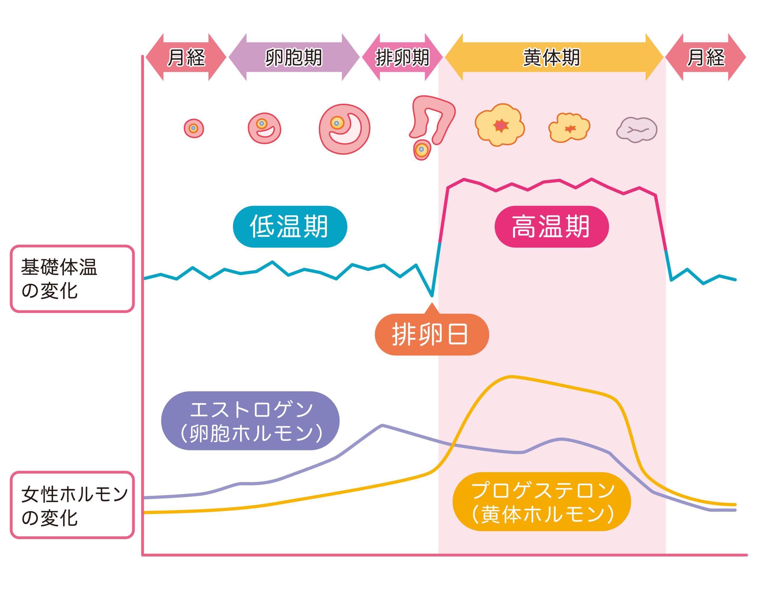 月経周期と女性ホルモン、基礎体温の変化