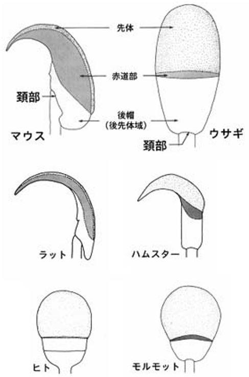 動物 哺乳類 精子 形