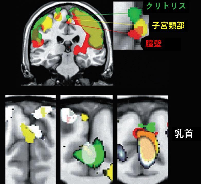 クリトリス 膣 子宮頸部 乳首 脳 fMRI 感じる 性感帯