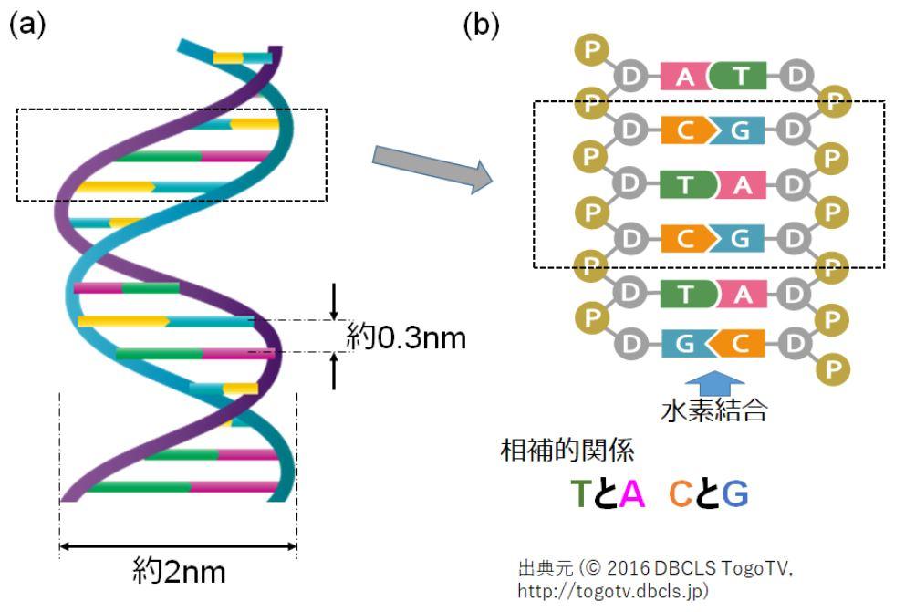 性別とは DNA 塩基対