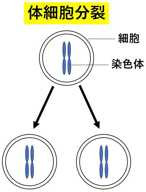 性別とは 体細胞分裂 無性生殖 染色体