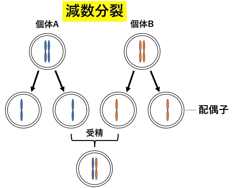 性別とは 有性生殖 減数分裂 配偶子 卵子 精子 染色体
