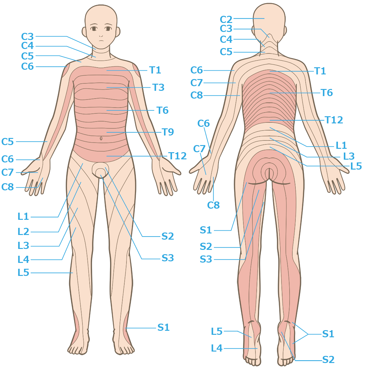 月経痛 生理痛 TENS 電気刺激 デルマトーム
