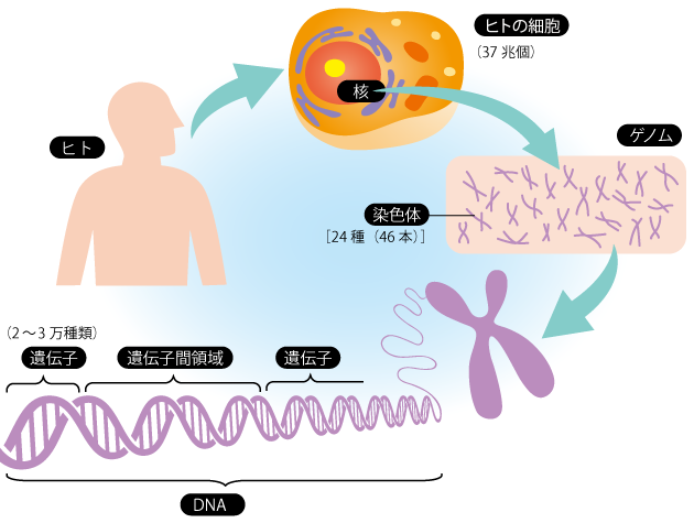 性別とは 遺伝子 ゲノム 染色体 DNA